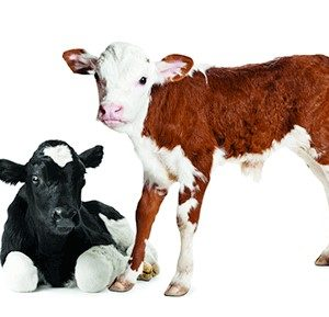 Calf Care Products