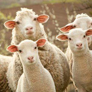 Sheep & Goat Tags