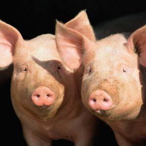 Swine Tags